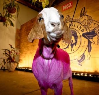 pink goat Fergus